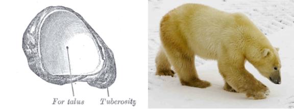 Left: Left Navicular, Proximal View. Right: Ursus maritimus.