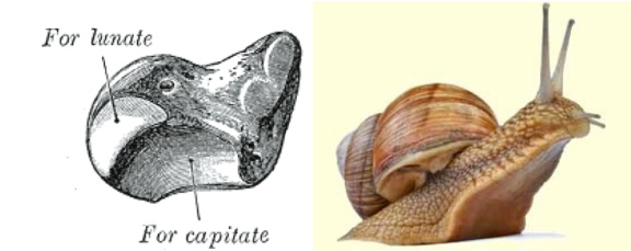 Scaphoid-Snail: View 2