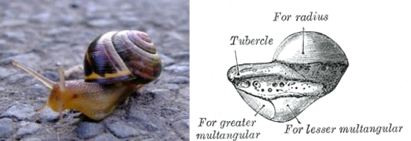 Scaphoid-Snail, View 1