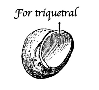For_triquetral
