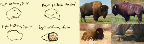 Left: The right pisiform, from various angles. Right: The majestic bison.