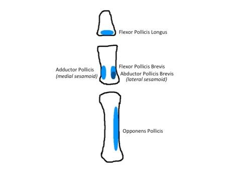 Thumb (Ventral)
