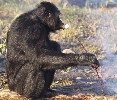 Chimp eating a marshmallow. It's from the Daily Mail, so it must be credible...