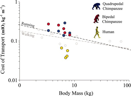 Net Cost of Transport Relative to Body Mass in Chimps and Humans (from Sockal et al., 2007). Dashed lines demonstrate trends from birds and other mammals.