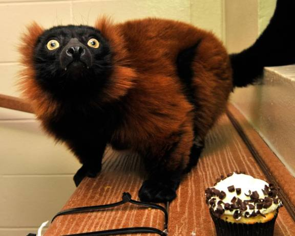 Exactly, red ruffed lemur, exactly. Your DEE is too low for cupcakes.
