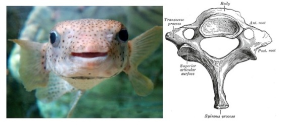 Left: Puffer fish, unpuffed Right: Cervical vertebra, superior view