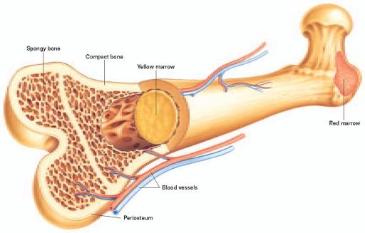 bone-marrow