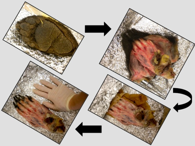 Stages of bear paw dissection. Looks like a human foot in Figure 3, doesn't it!?