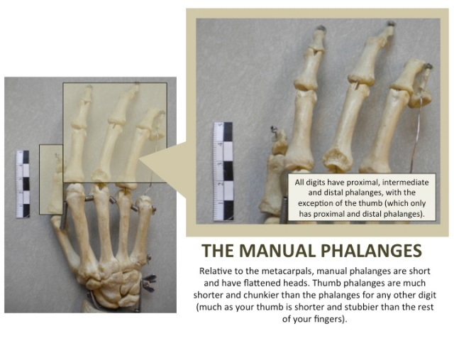 The Manual Phalanges