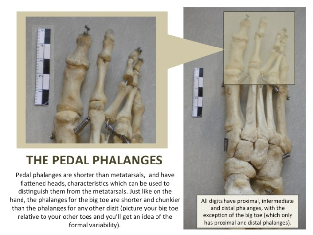 The Pedal Phalanges