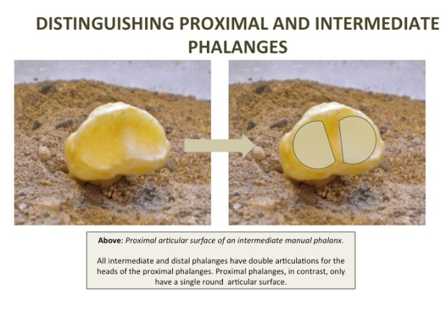 Proximal articular surface of intermediate manual phalanx