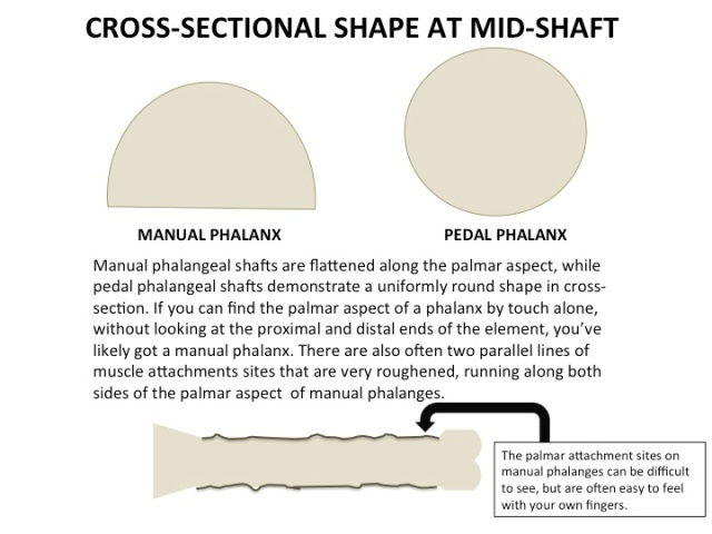 Cross-sectional form of manual and pedal phalanges
