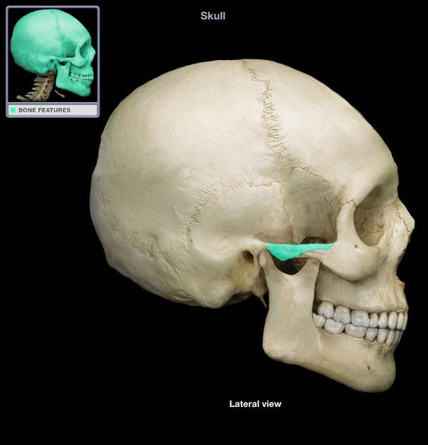 Zygomatic process highlighted in blue