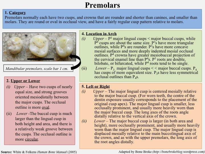 Identifying Human Teeth: Human Dentition Cheat Sheet | Bone Broke