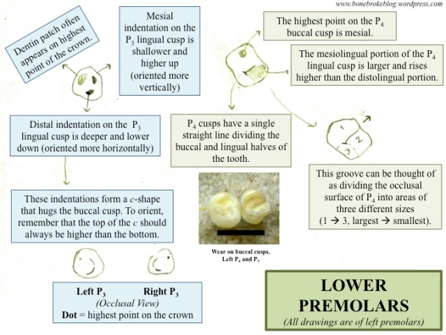 Lower Premolars