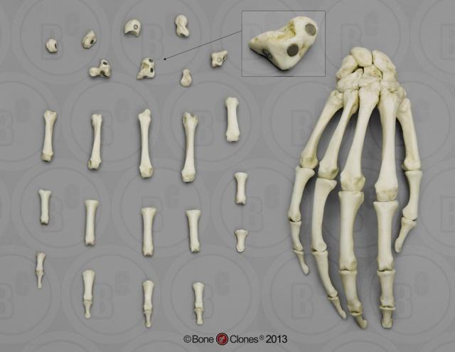 Bone Clones Magnetic Hand