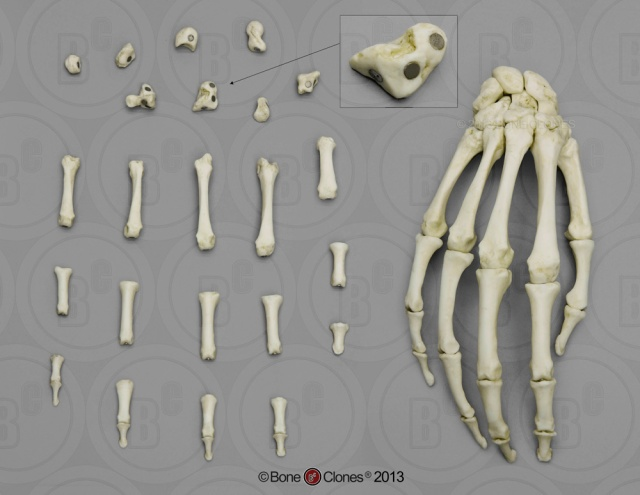 Bone Clones Magnetic Hand