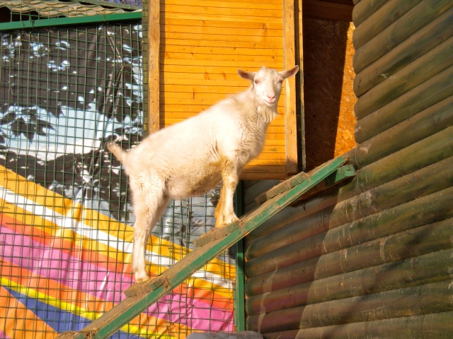 Kok Tobe Goat