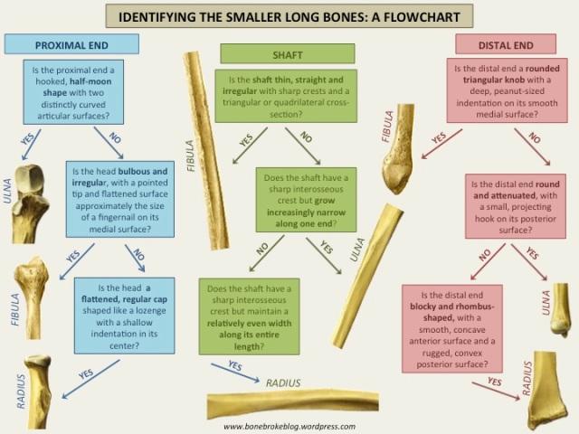 Small long bones flow chart
