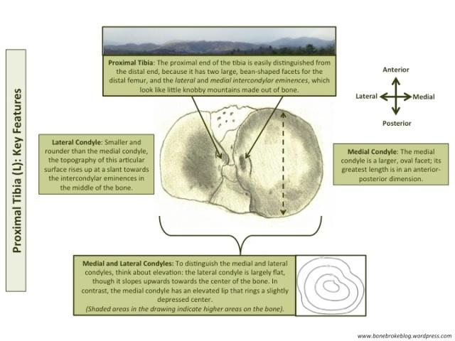 Proximal Tibia