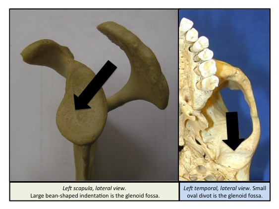 glenoid fossa | bone broke, Cephalic Vein