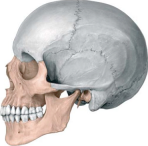 Splanchnocranium shown in red.