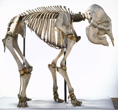 Elephant_Skeleton
